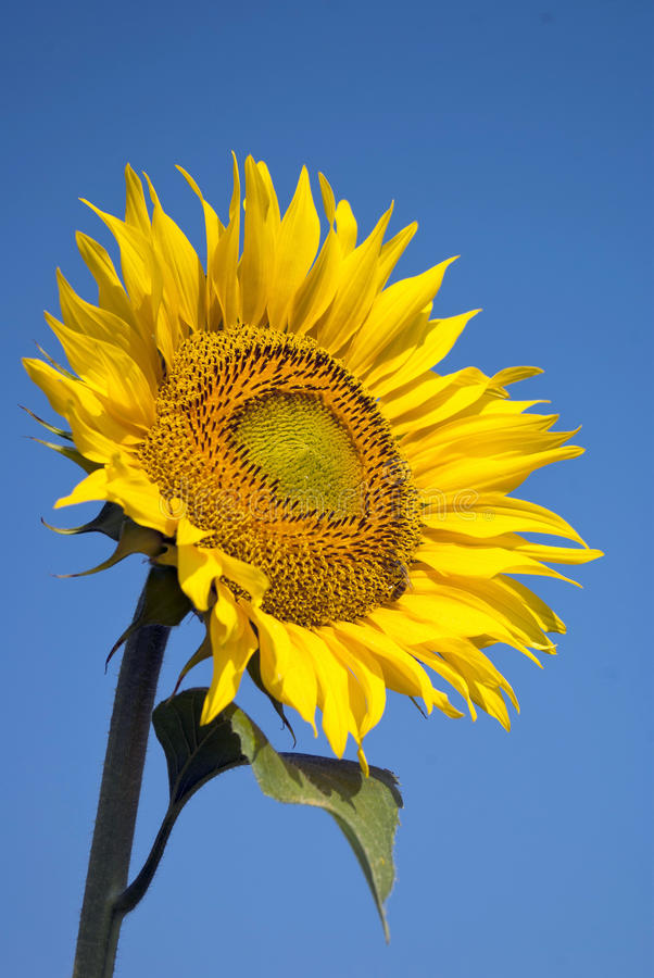 Download Sunflower with bee stock image. Image of beauty, honey - 23257901