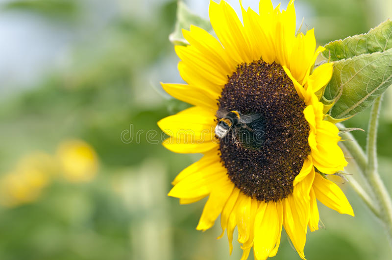 Download Sunflower With Bee stock image. Image of silky, leaf - 25708023