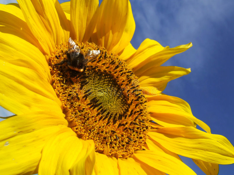 Sunflower and a Bee royalty free stock photography