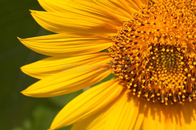 Download Sunflower and bee stock image. Image of green, outdoors - 25830525