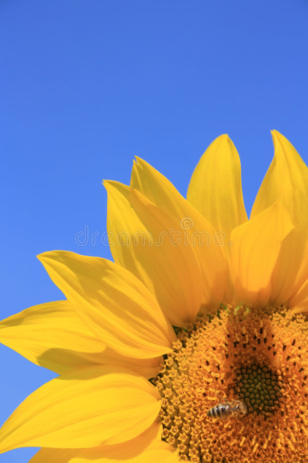 Download Sunflower with Bee stock image. Image of nature, animal - 6299683