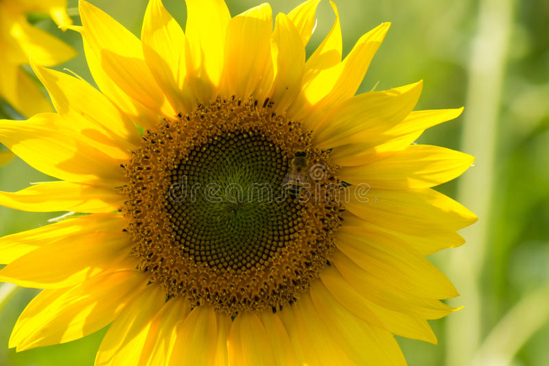 Sunflower with a bee stock photos