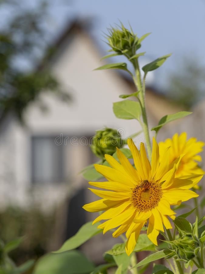 Sunflower bee and house stock image