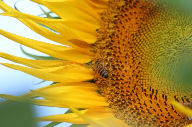 Sunflower and Bee. The plant has an erect rough-hairy stem, reaching typical heights of 3 metres. The tallest sunflower on record achieved 9.17 metres. Sunflower royalty free stock photo