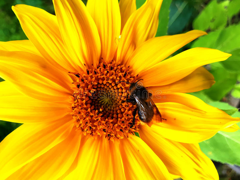 Sunflower and a bee royalty free stock images