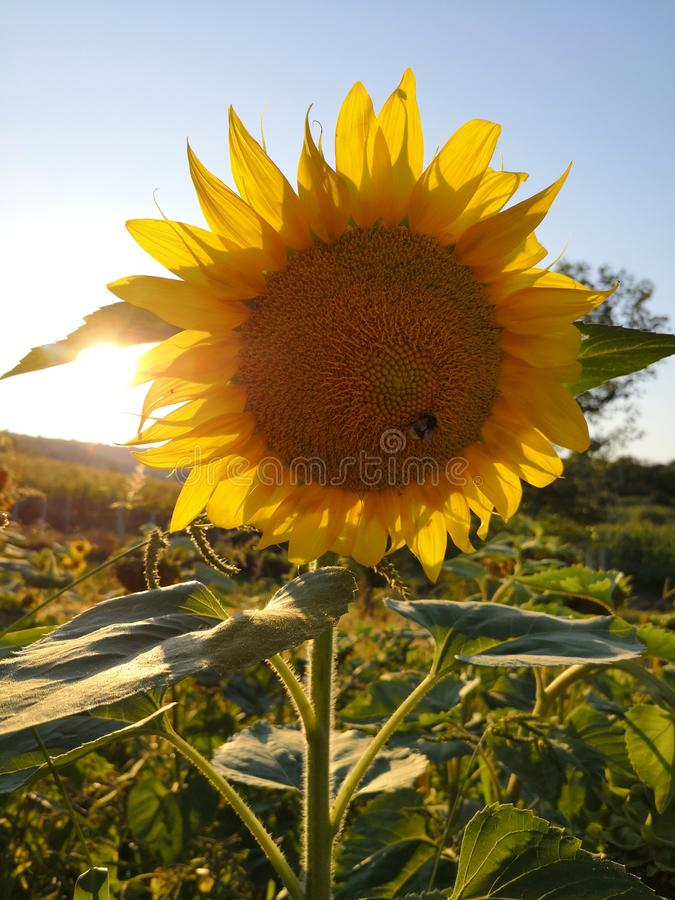 Sunflower and a bee royalty free stock image