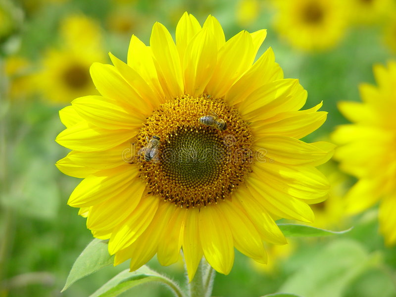 Download Sunflower with bees stock photo. Image of flower, summer - 26586