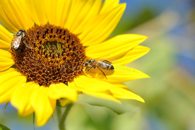 Download Sunflower stock photo. Image of blue, seed, life, sunflower - 36989076