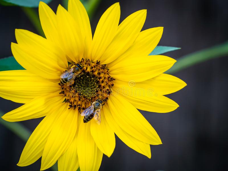 Sunflower with bees. Pollination of flowers. stock photo