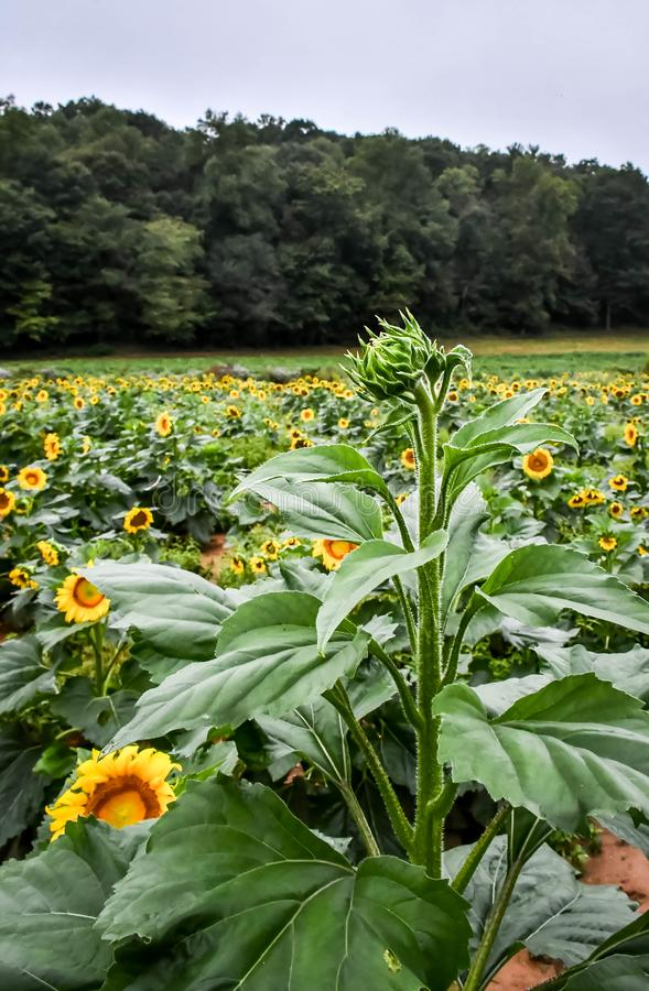 A Sunflower beginning to bloom, Jasper, Georgia, USA. A sunflower blooming in the field, Jasper, Georgia, USA royalty free stock photos