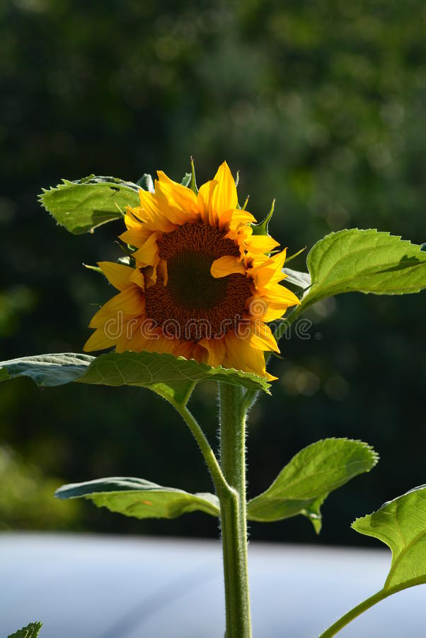 Sunflower 3 stock image