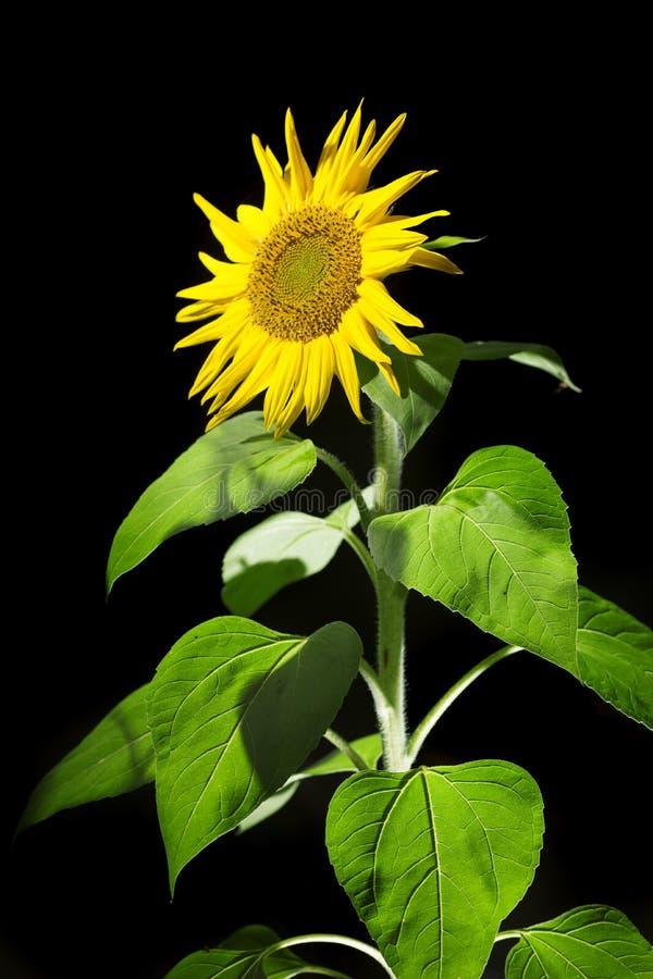 Sunflower on black background stock photo