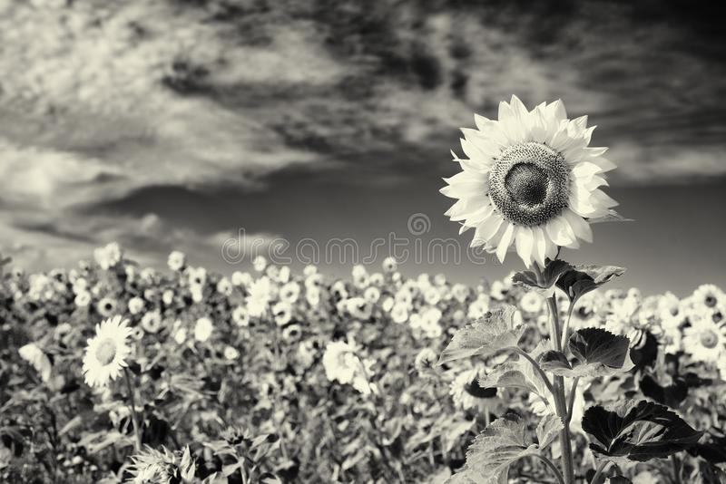 Download Sunflower In Black And White Stock Photo