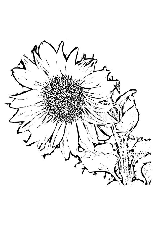 Download Sunflower Black And White Drawing Stock Vector - Illustration: 11688289