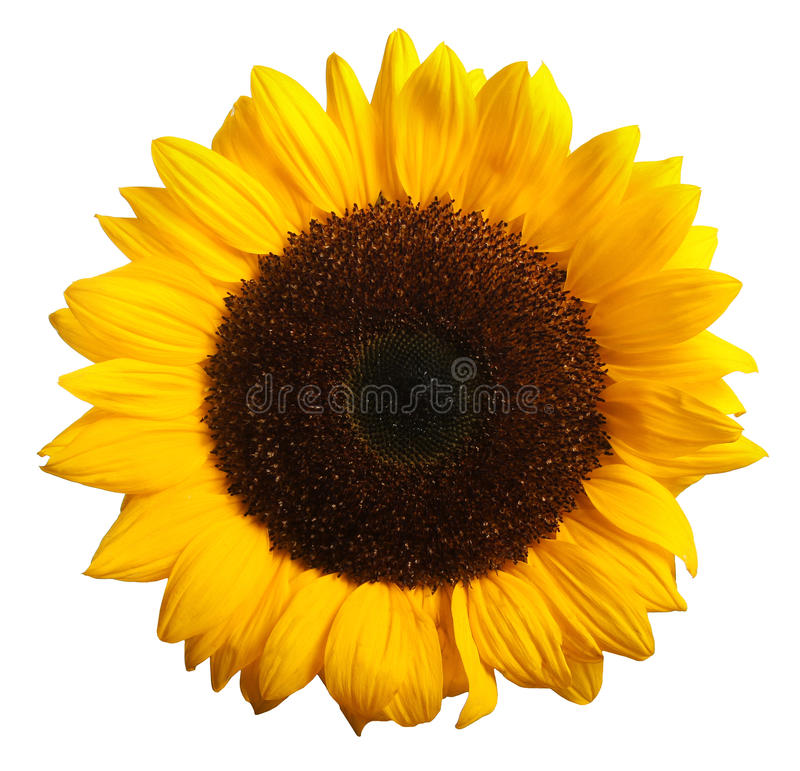 Sunflower bloom isolated on white. Background royalty free stock photo