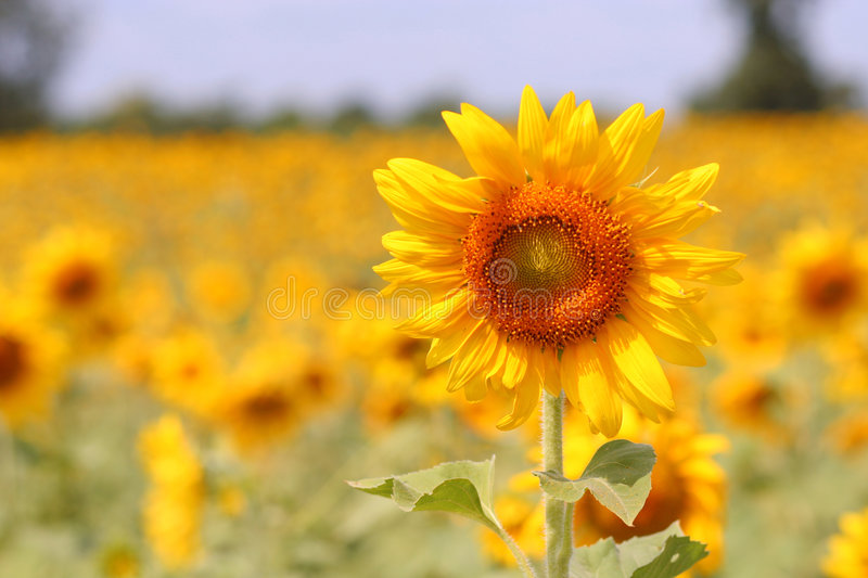 Download Sunflower Blooming stock image. Image of blossoming, color - 1414985