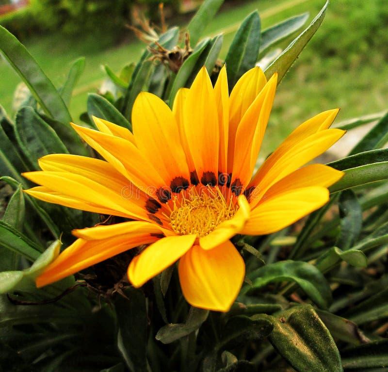 The Sunflower Blossom stock photos