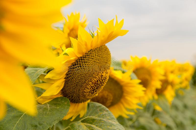 Sunflower blooming on the field on a bright sunny day . Close-up of sunflower. Sunflower natural background stock photos