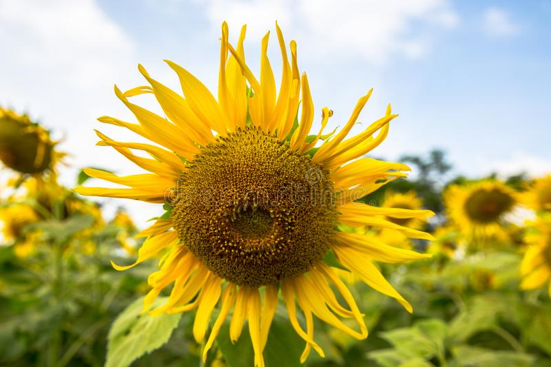 Sunflower blooming stock image