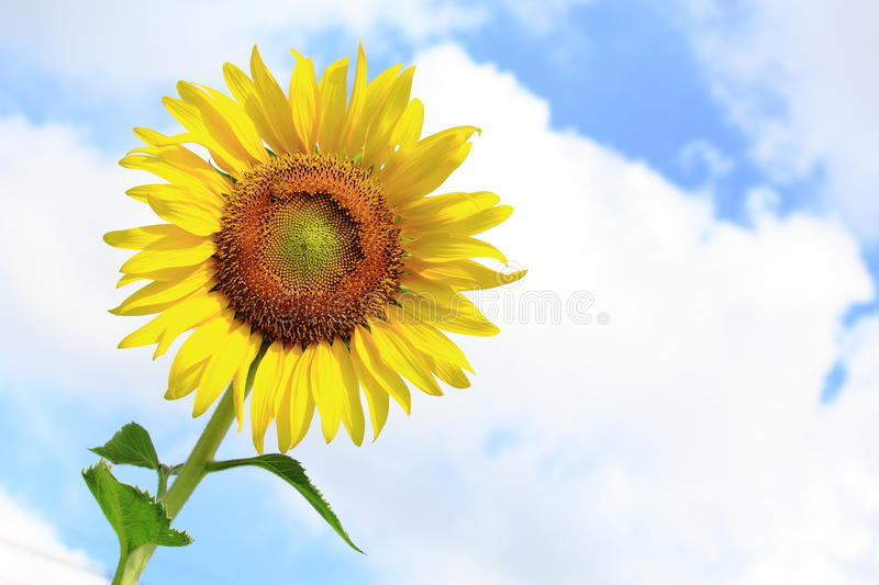 Sunflower Blooming Under Blue Sky. Closed Up Sunflower Blooming Under Blue Sky royalty free stock photography