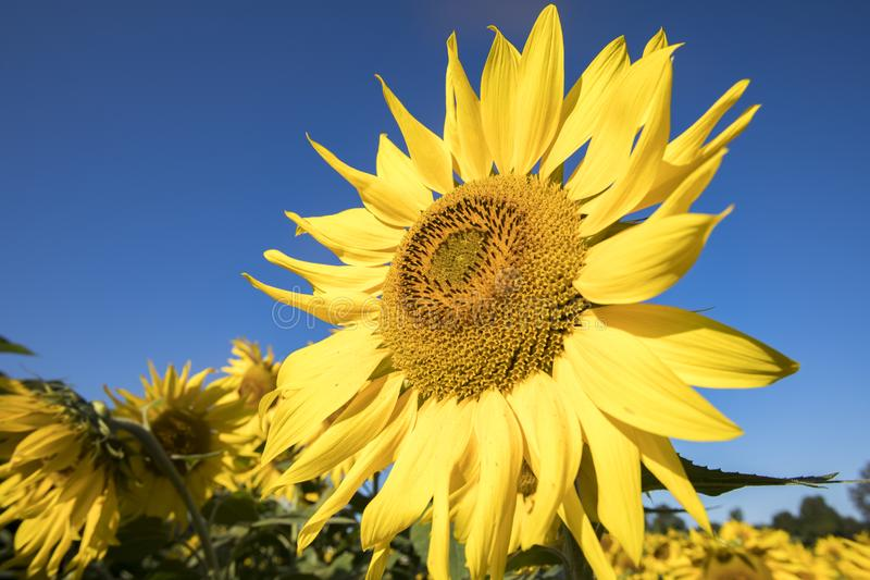 Sunflower blooms in field against blue skies in early morning royalty free stock photos