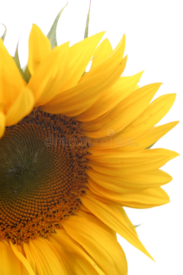 Sunflower blossom royalty free stock photos