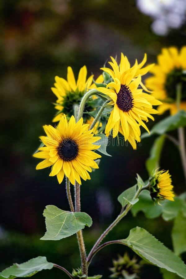 Sunflower blossom on a dark background stock photography