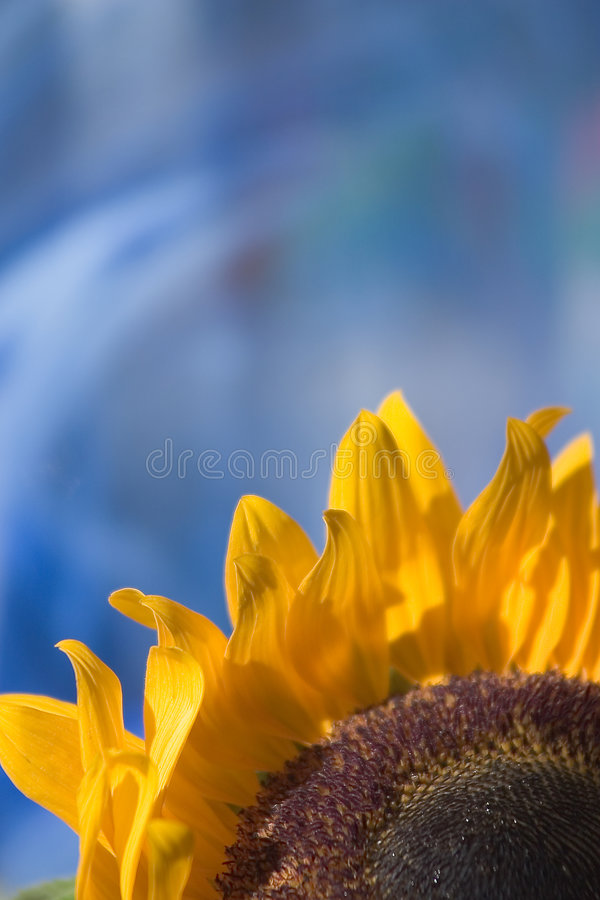 Sunflower on blue royalty free stock image