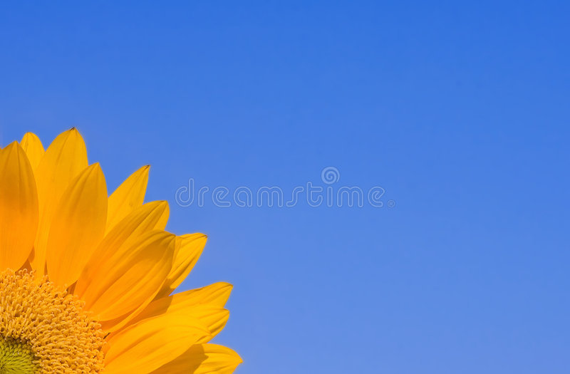 Sunflower on Blue. Sunflower with bright blue sky royalty free stock image