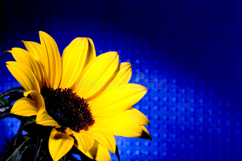 Download Sunflower Blue Grid Royalty Free Stock Image - Image: 642356