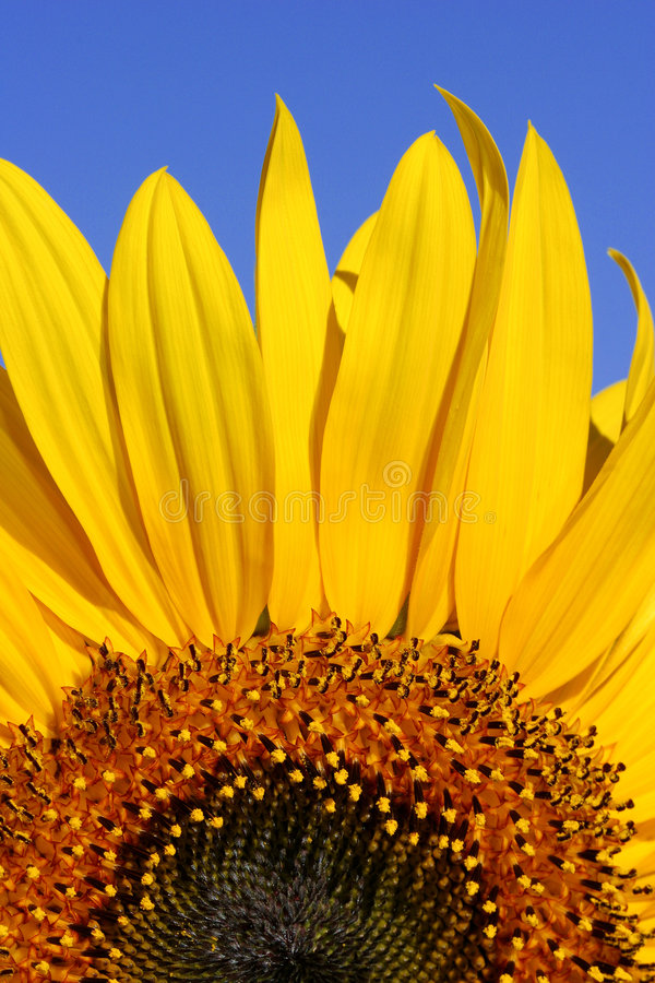 Download Sunflower And Blue Sky Stock Photography - Image: 179222