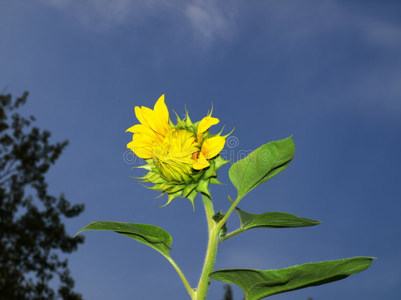 Download Sunflower and blue sky stock image. Image of growing, bloomed - 3022557