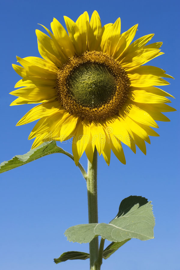 Download Sunflower and blue sky stock photo. Image of flowers, organic - 3328348