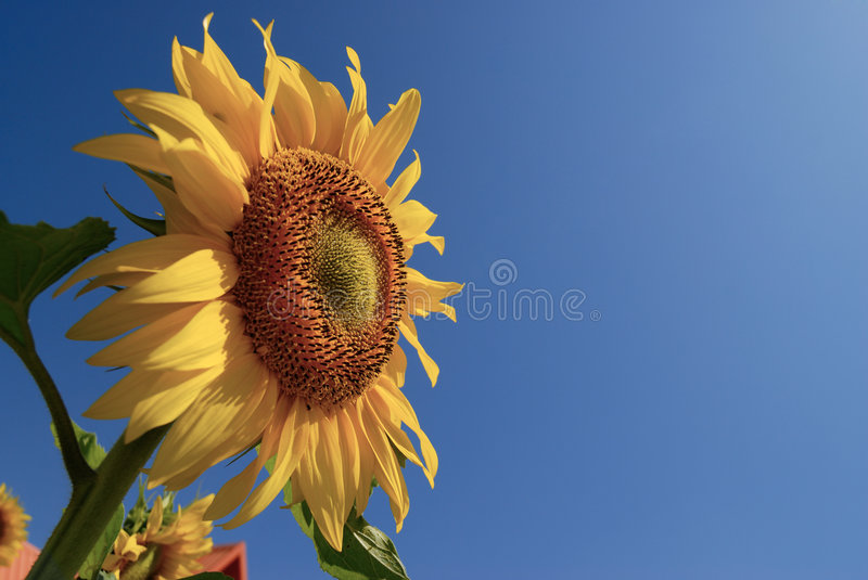 Download Sunflower with blue sky stock photo. Image of garden, agriculture - 8660164