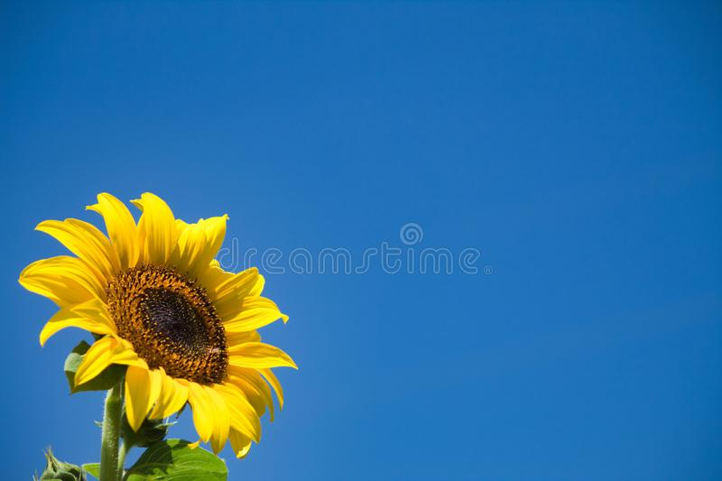 Sunflower on sunny summer day with sky as background royalty free stock images