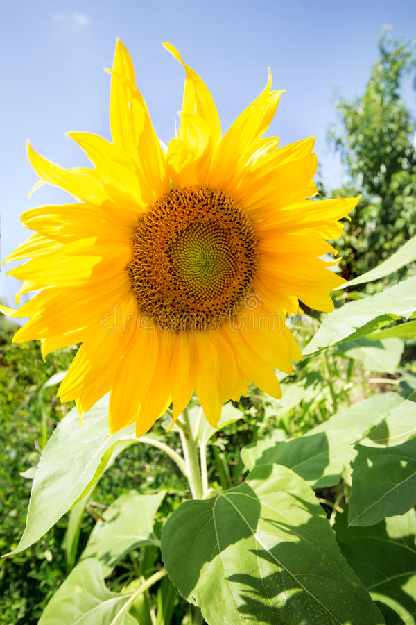 Sunflower on blue sky stock images