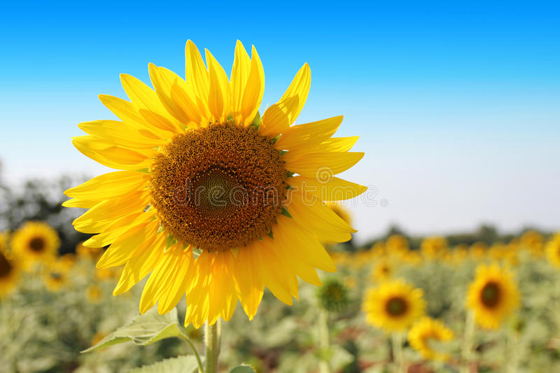 Sunflower on blue sky background stock images