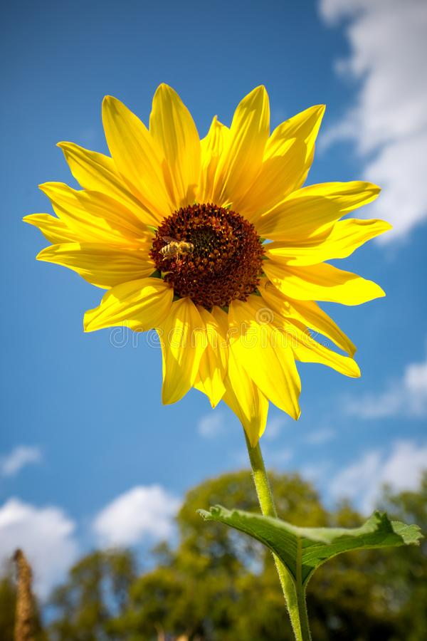Sunflower on a blue sky royalty free stock images