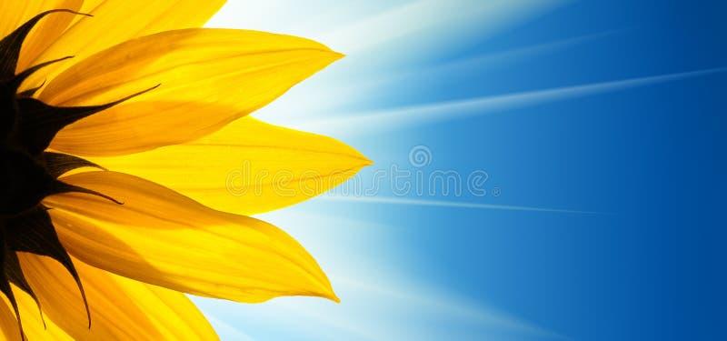 Sunflower blue sky stock photo