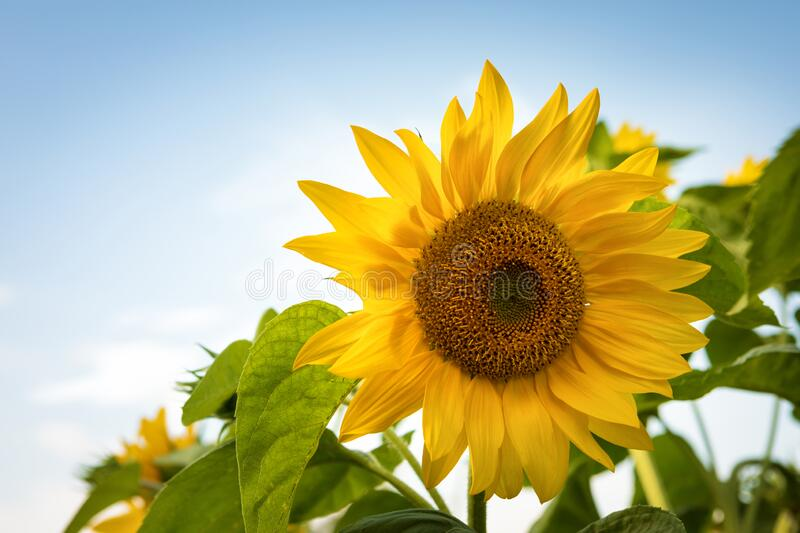 Sunflower and blue sky. Sunflowers field during summer, Sunflower blooming royalty free stock image