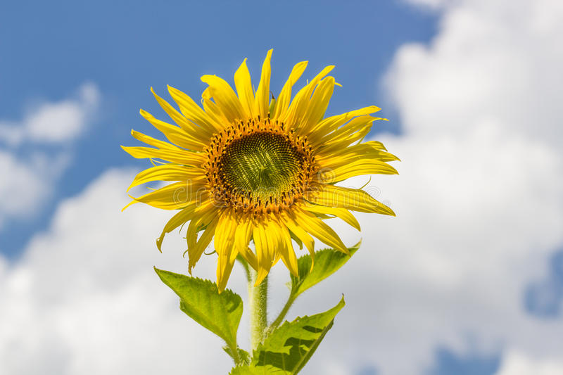 Sunflower and blue sky royalty free stock photography