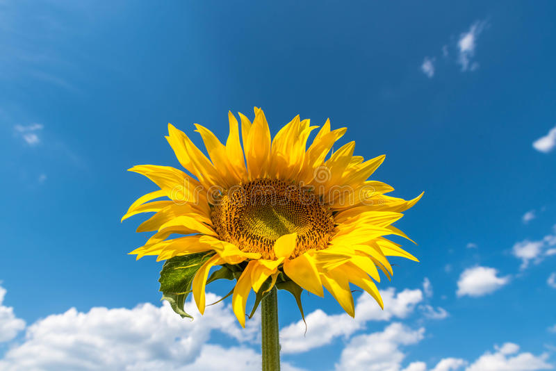 Download Sunflower stock image. Image of botany, fresh, growth - 96639987