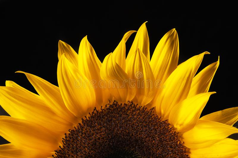 Sunflower in blue vase on white backdrop yellow orange stock photography