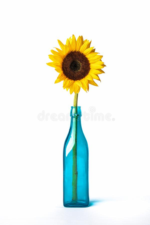 Sunflower in blue vase on white backdrop yellow orange royalty free stock photos