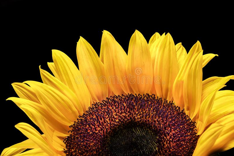 Sunflower in blue vase on white backdrop yellow orange stock image