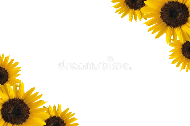 Sunflower border. Illustration of sunflower border isolated on white background