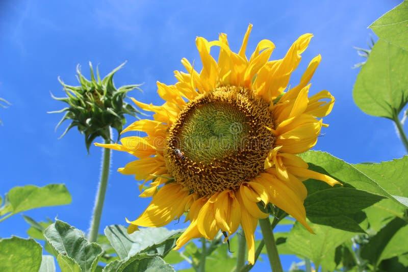 The Sunflower stock image