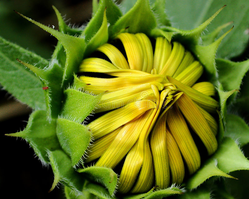 Download Sunflower Bud stock photo. Image of wildlife, seed, yellow - 19918