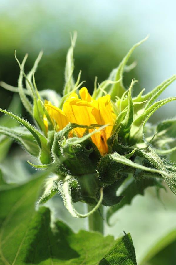 Free Sunflower Bud Stock Photos - 4229513