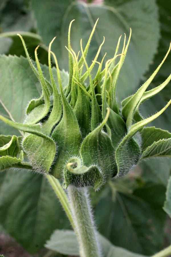 Sunflower bud stock photography